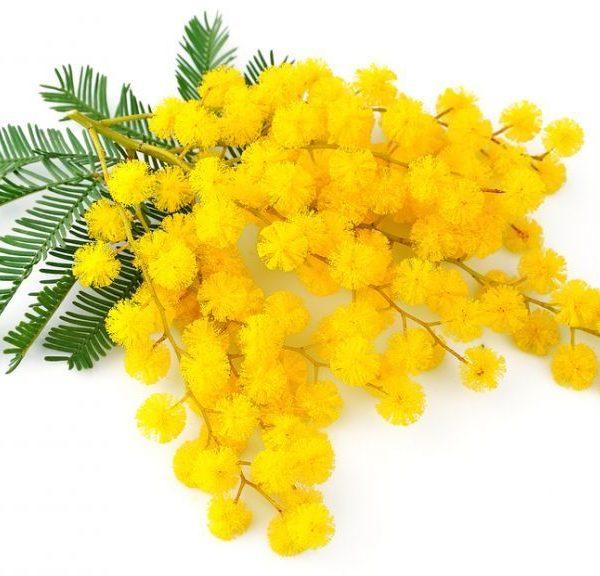 festa della donna mimosa braccoatletica auguri 600x576 - BUON 8 MARZO!