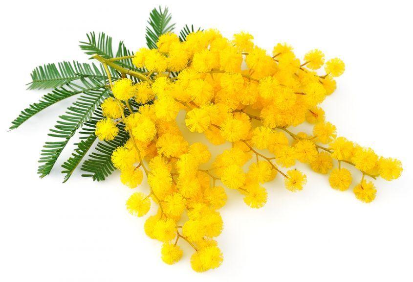 festa della donna mimosa braccoatletica auguri - BUON 8 MARZO!